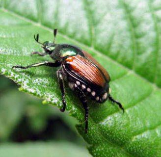 Escarabajo japonés: Todo lo que necesitas saber