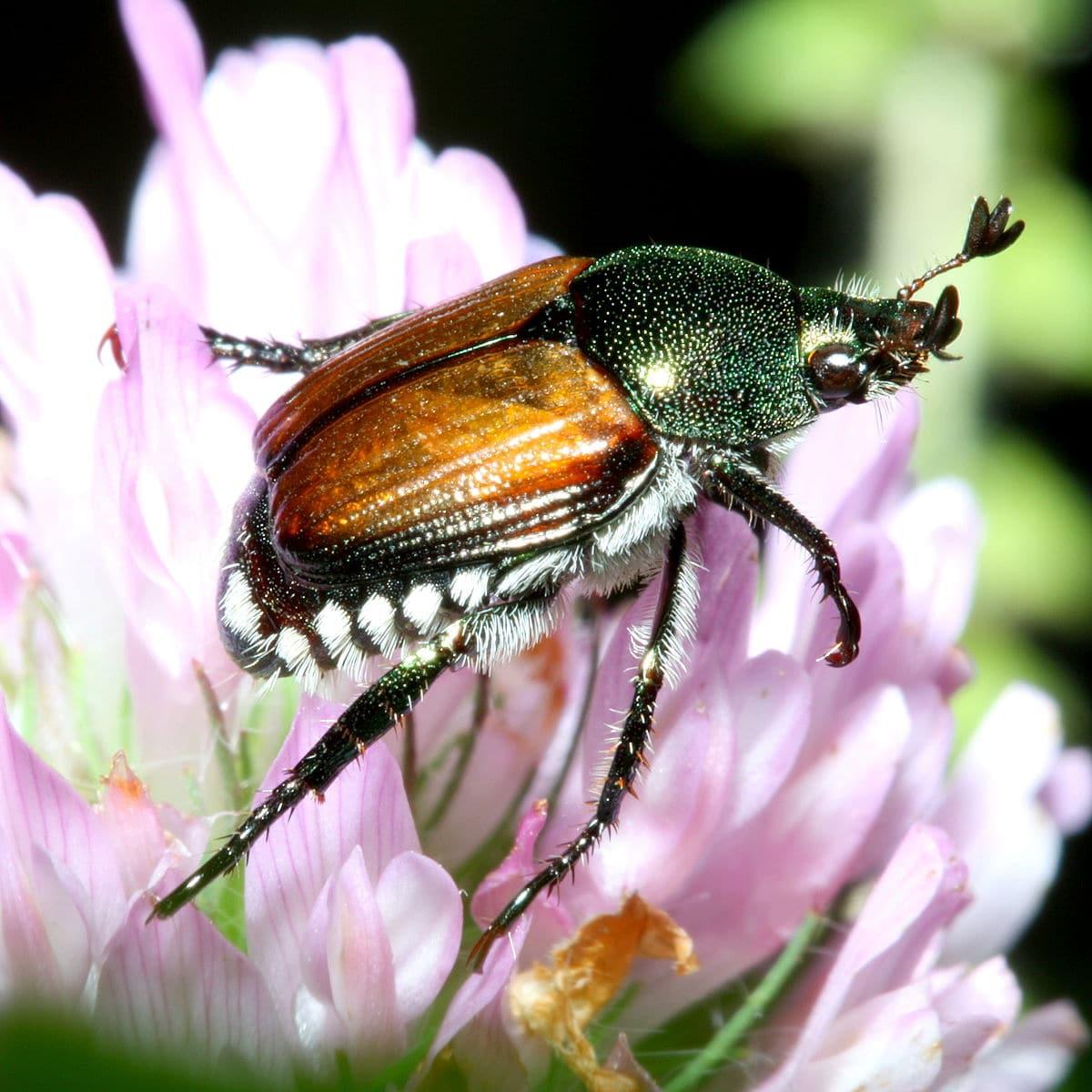 Escarabajo-japonés5