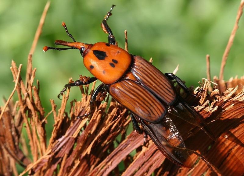 Escarabajo-picudo2