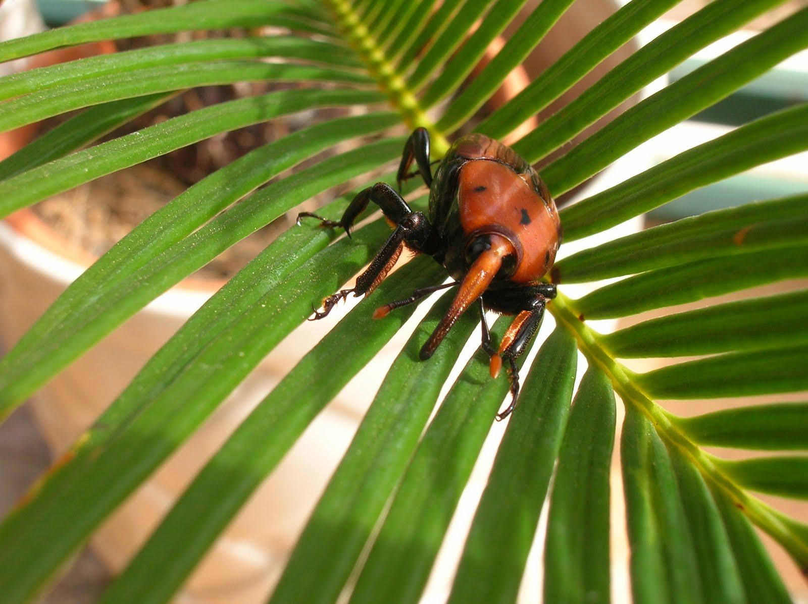 Escarabajo-picudo4