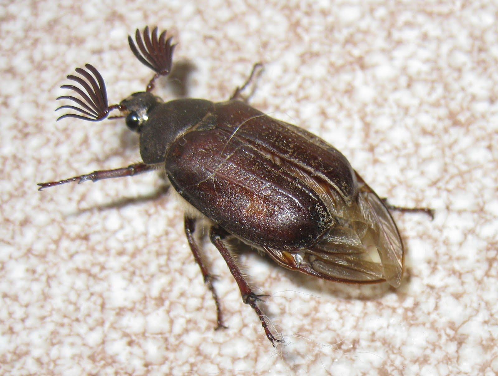 Escarabajo-sanjuanero1