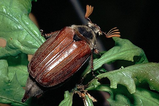 Escarabajo-sanjuanero2