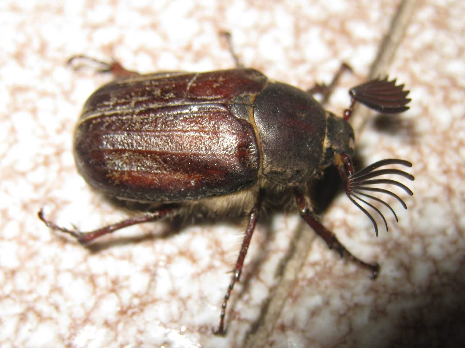 Escarabajo-sanjuanero3