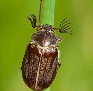 Escarabajo sanjuanero: Todo lo que debes saber
