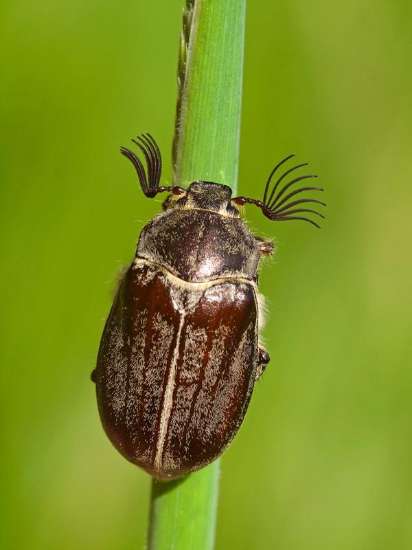 Escarabajo-sanjuanero4