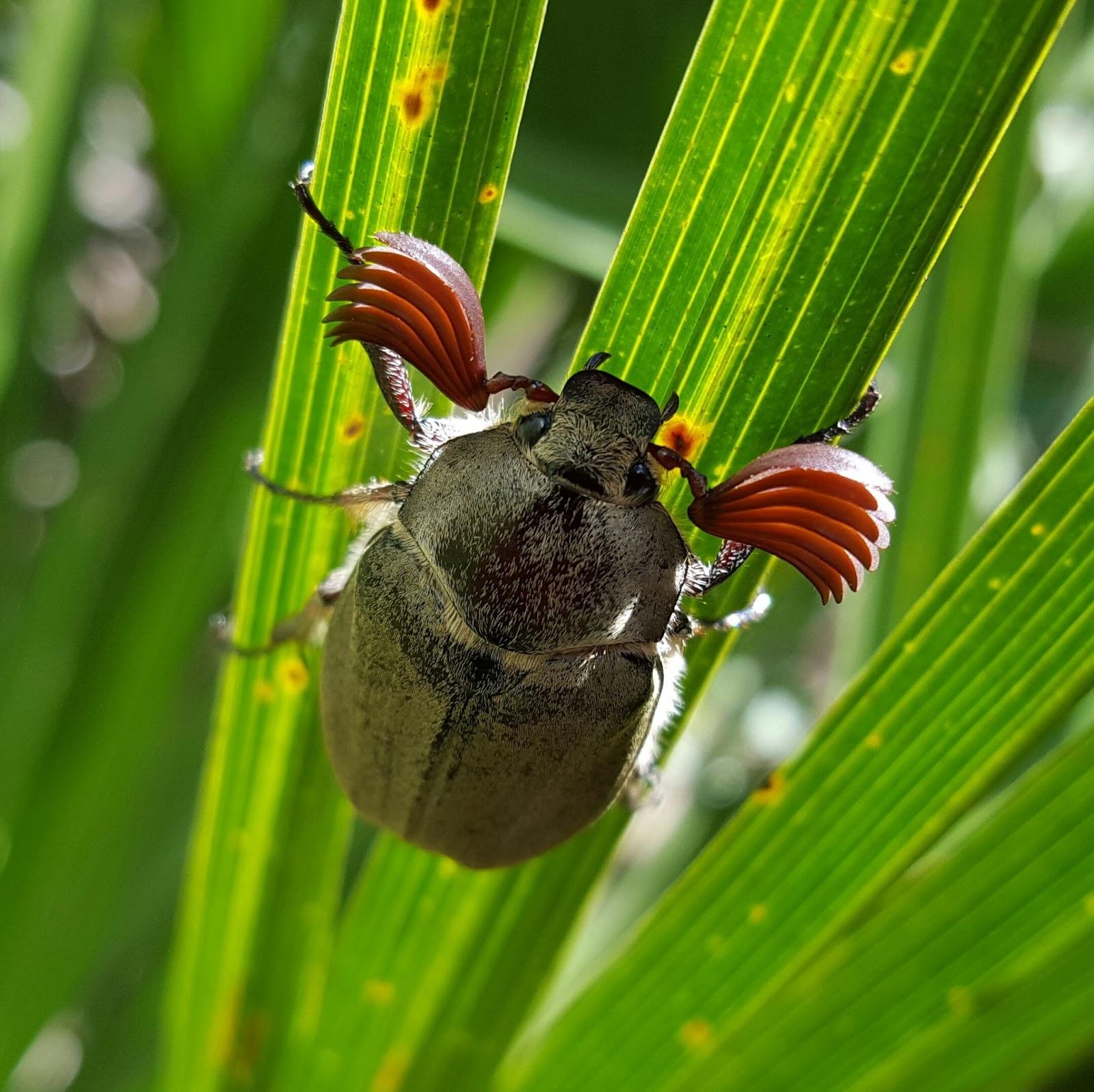 Escarabajo-sanjuanero5