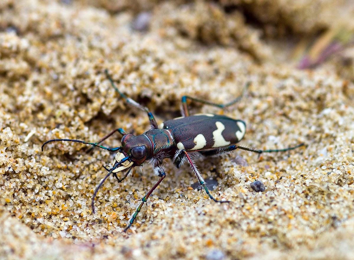 Escarabajo-tigre3