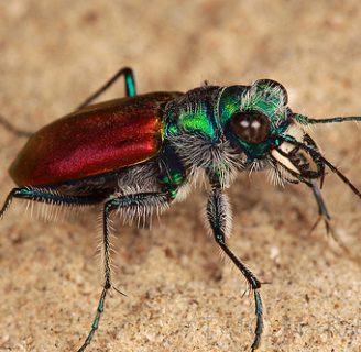 Escarabajo tigre: Todo lo que debes saber