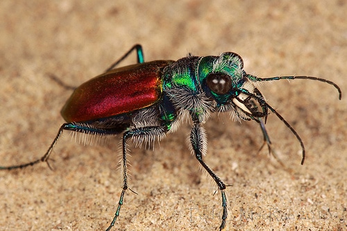 Escarabajo-tigre4