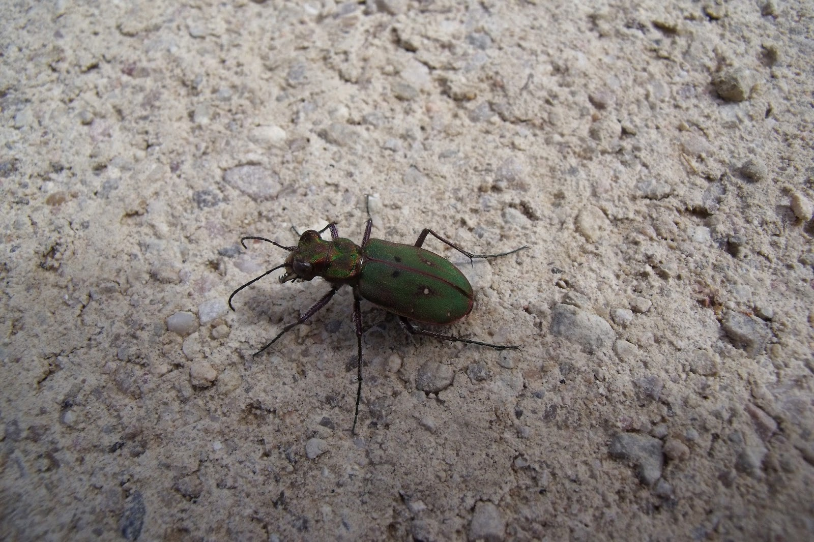 Escarabajo-tigre5