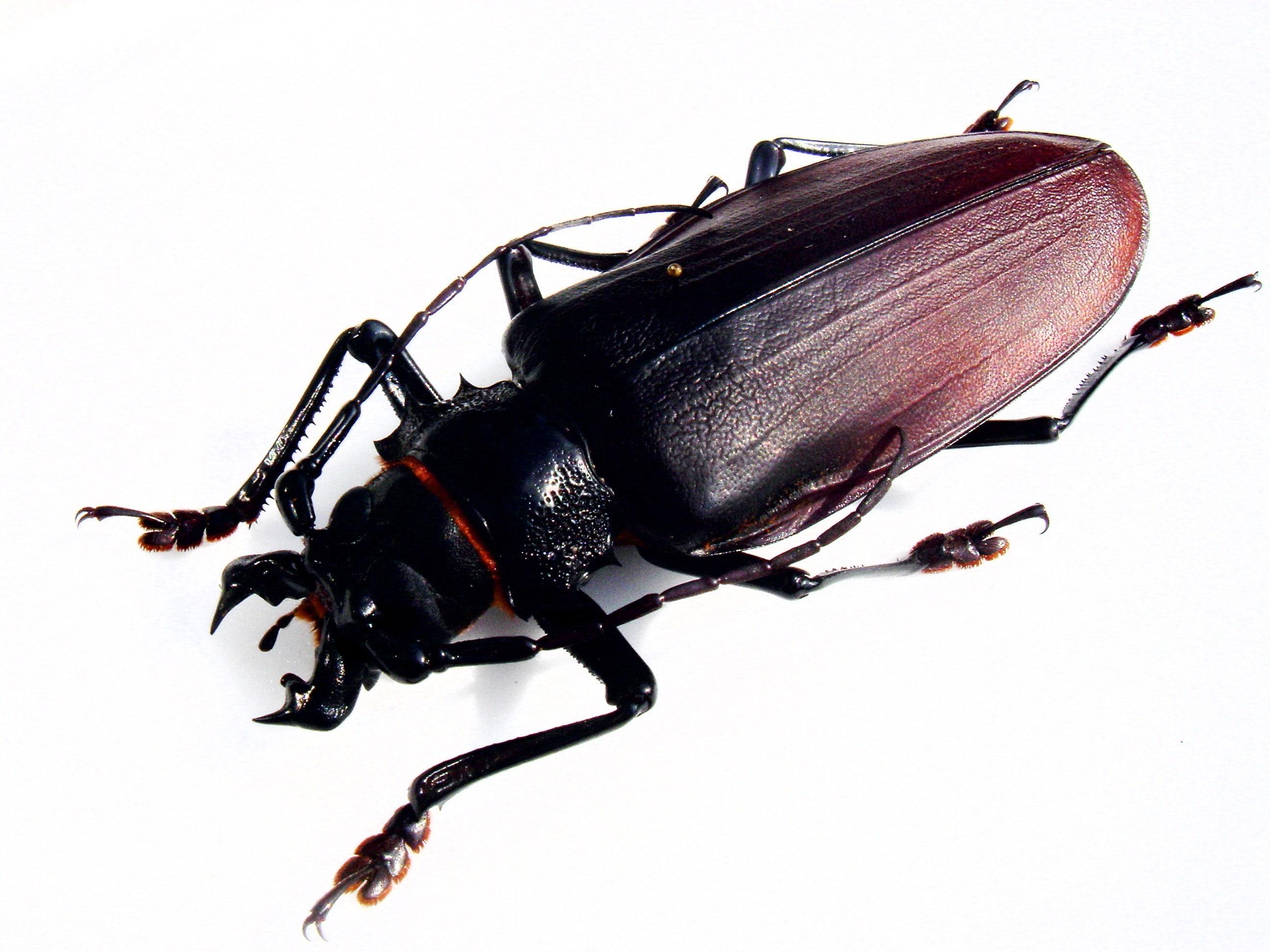 Escarabajo-titán5