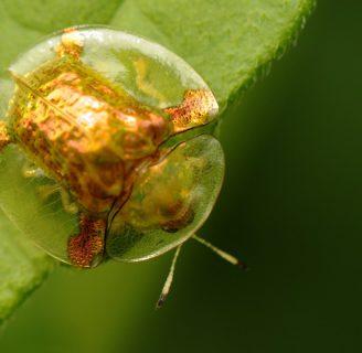 Escarabajo tortuga: Todo lo que se necesita saber