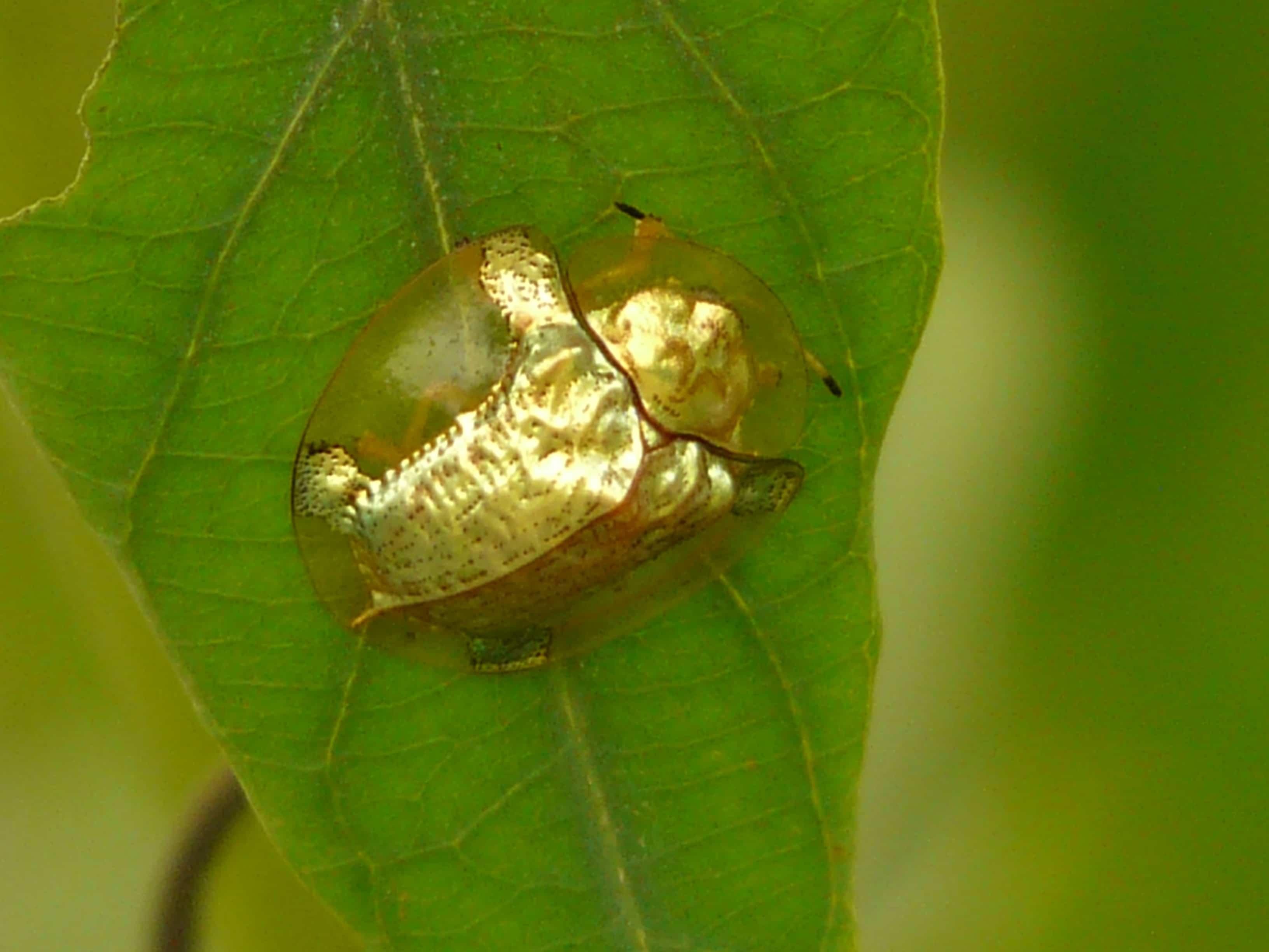 Escarabajo-tortuga3