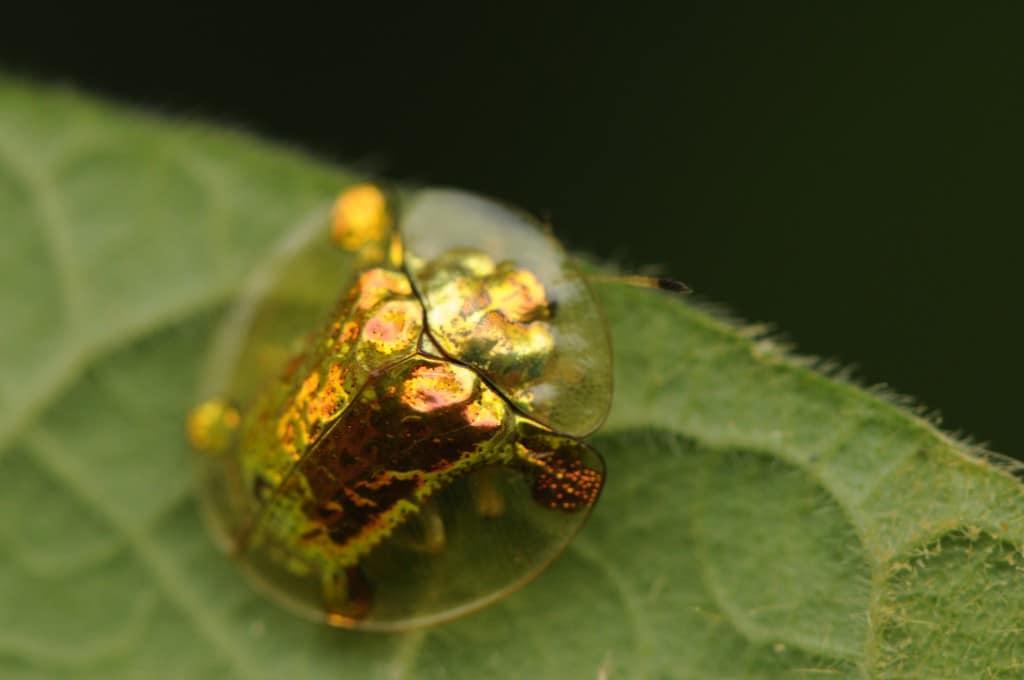 Escarabajo-tortuga4