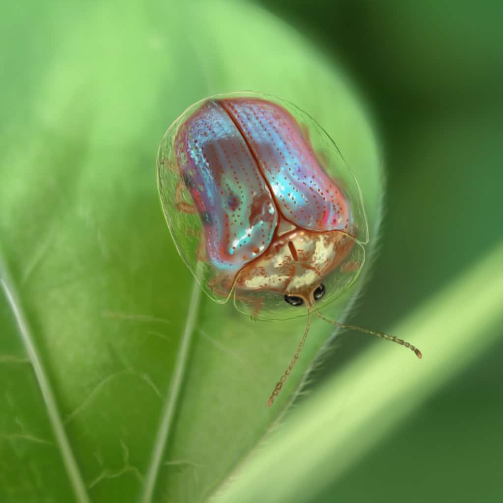 Escarabajo-tortuga5