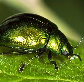 Escarabajo verde: Todo lo que necesitas saber