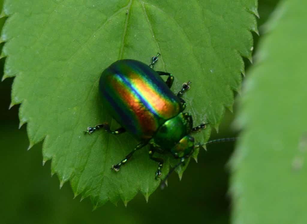 Escarabajo-verde2