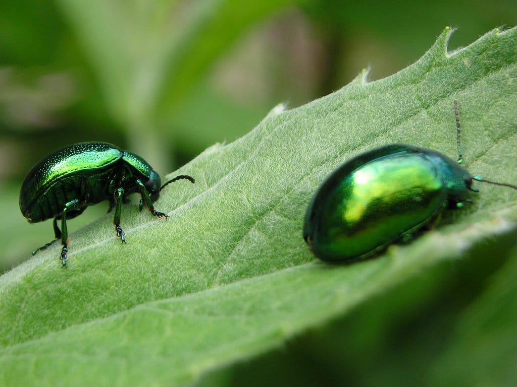 Escarabajo-verde3