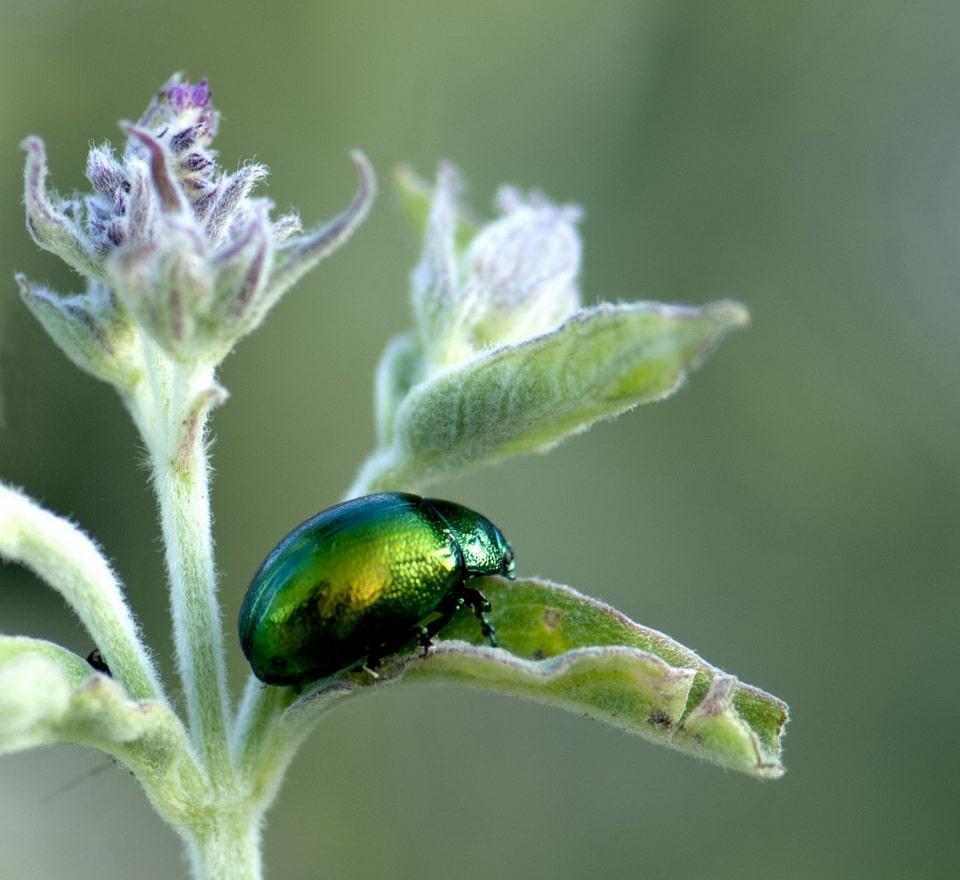 Escarabajo-verde4