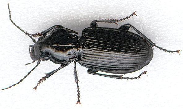 Escarabajo-volador2