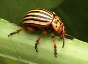 coleópteros