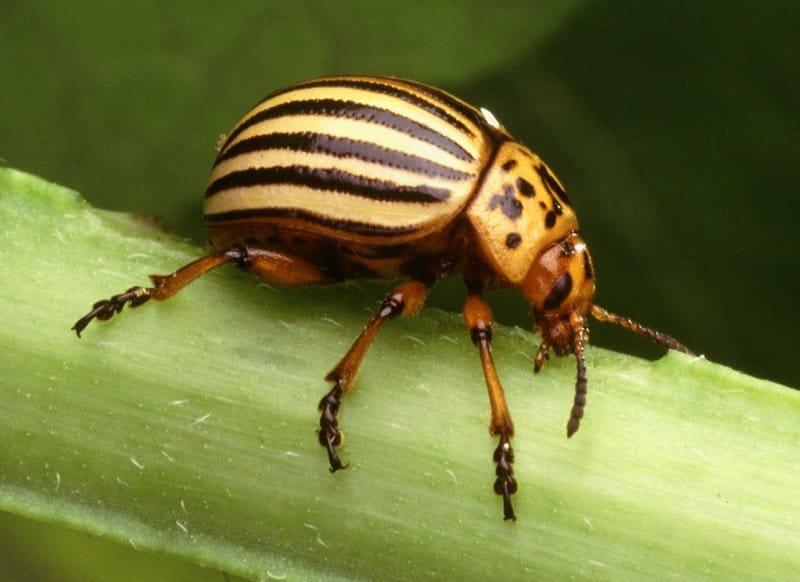 Escarabajo volador