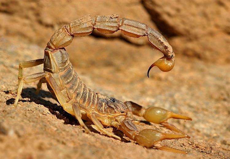 Escorpión-o-Alacrán-amarillo2