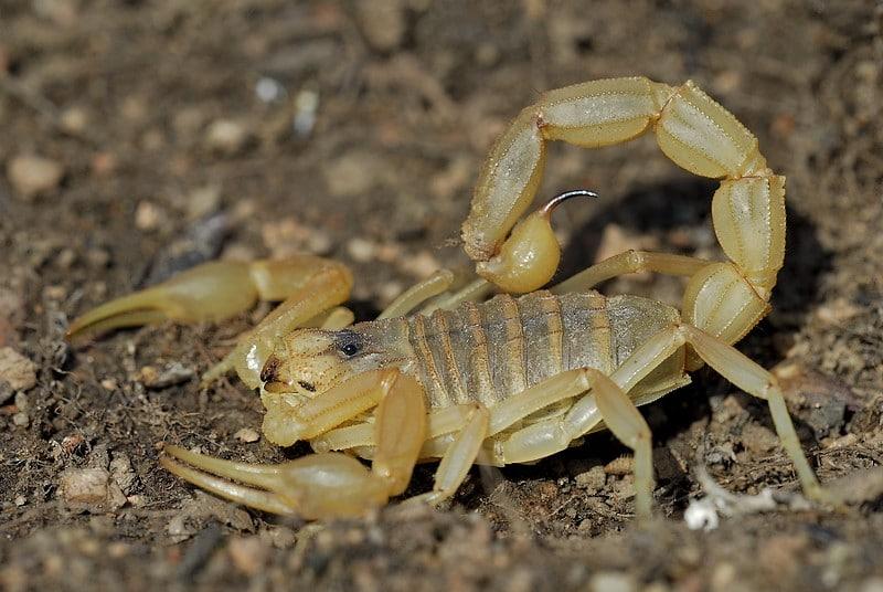 Escorpión-o-Alacrán-amarillo3