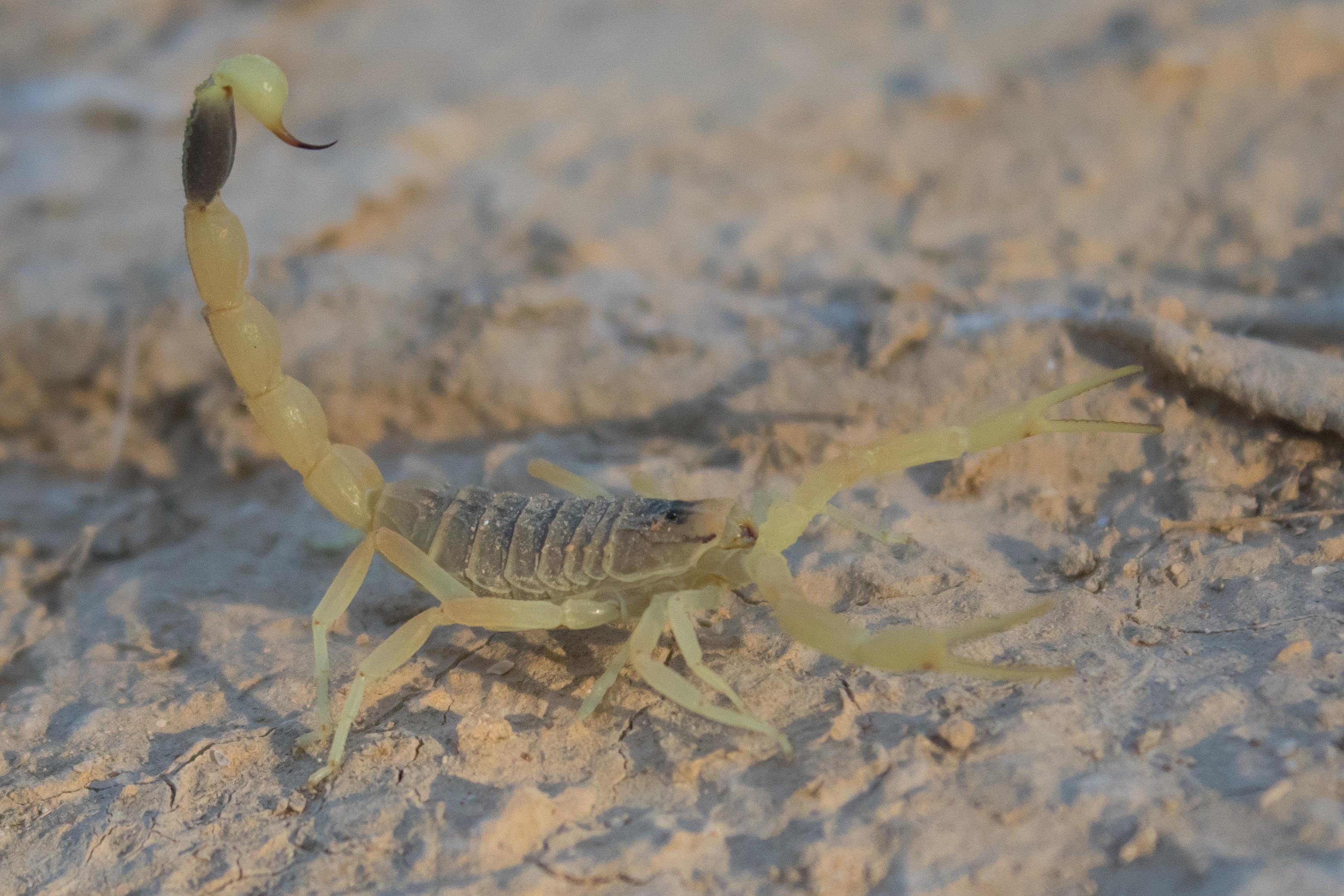 Escorpión-o-Alacrán-del-desierto2