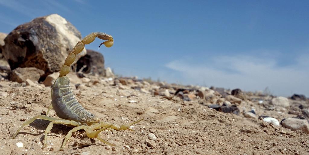 Escorpión-o-Alacrán-del-desierto5