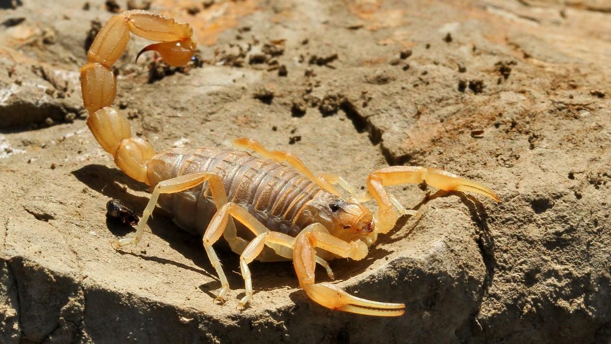 Escorpión-o-Alacrán-amarillo4