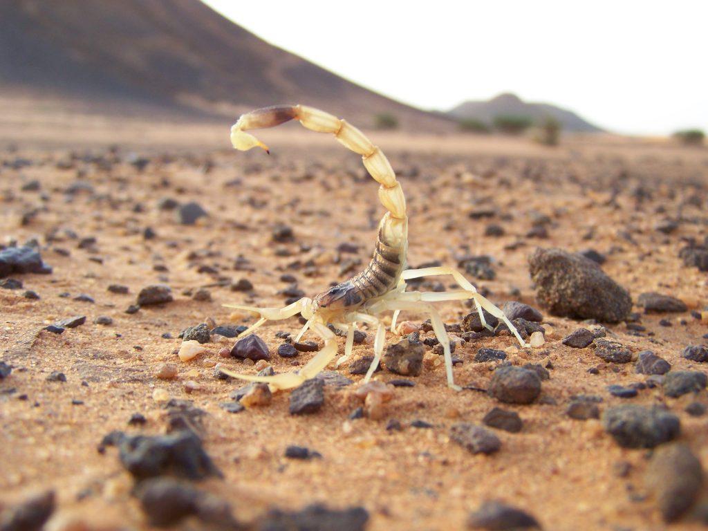 Escorpión o Alacrán del desierto: Todo lo que deberías saber