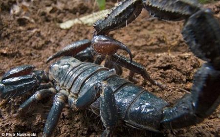 escorpión-azul-6