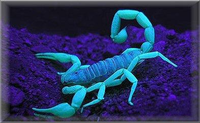 escorpión-azul-9