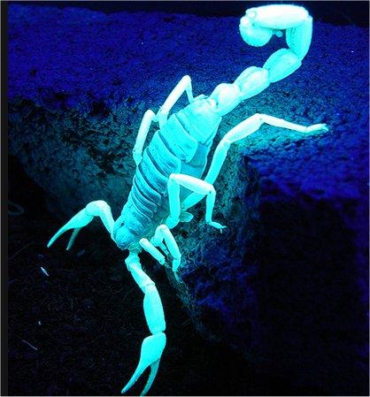 escorpión-azul-11