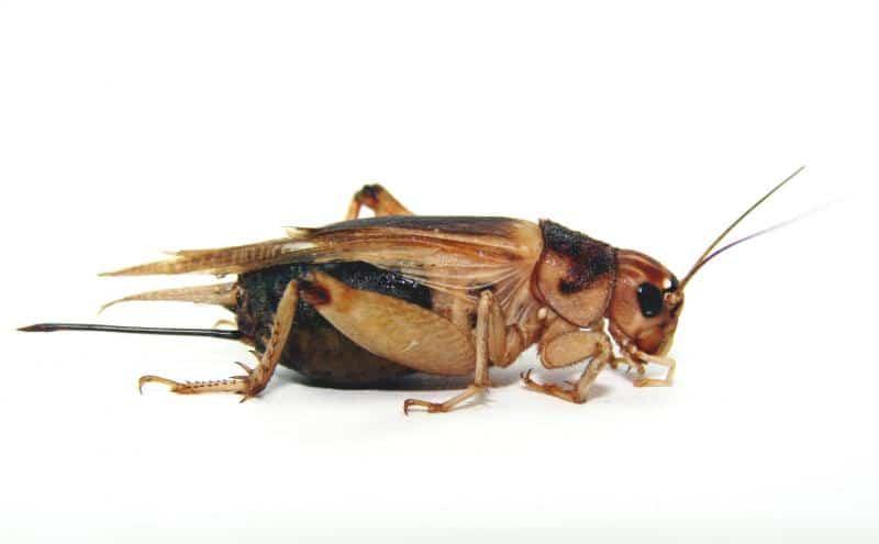 Grillo-doméstico1
