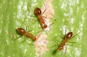 hormigas de fuego