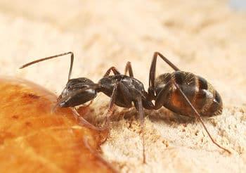 Hormiga-carpintera-marabunta-o-soldado2