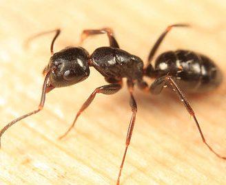 Hormiga carpintera marabunta o soldado: Todo sobre ellas