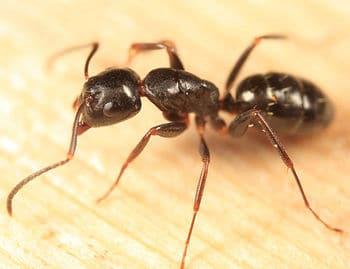 Hormiga-carpintera-marabunta-o-soldado3