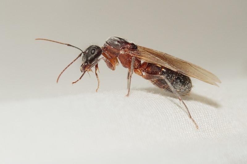 Hormiga-carpintera-marabunta-o-soldado4