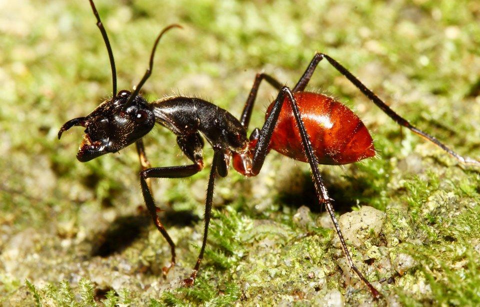 Hormiga-carpintera-marabunta-o-soldado5