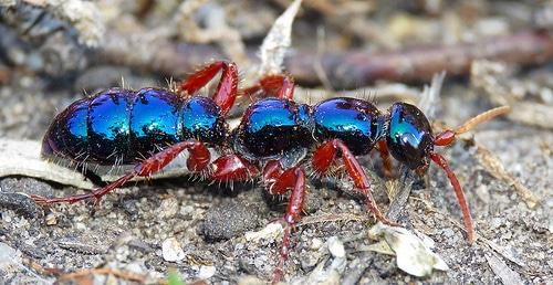 Hormigas-azules1