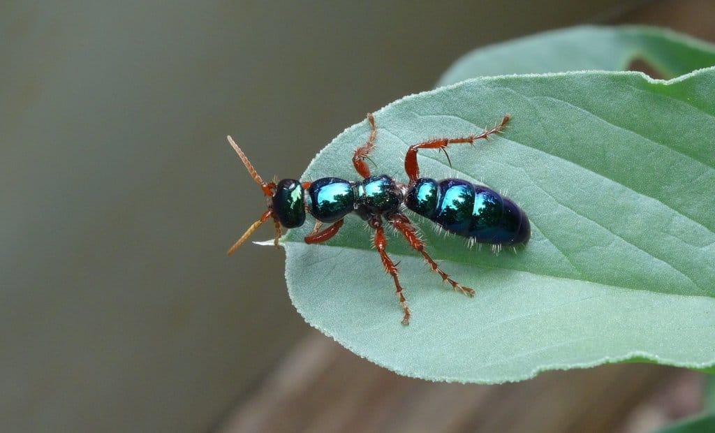 Hormigas-azules2