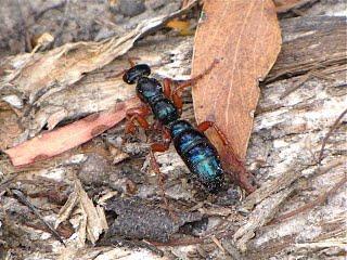 Hormigas azules