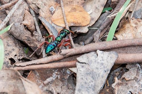 Hormigas-azules5