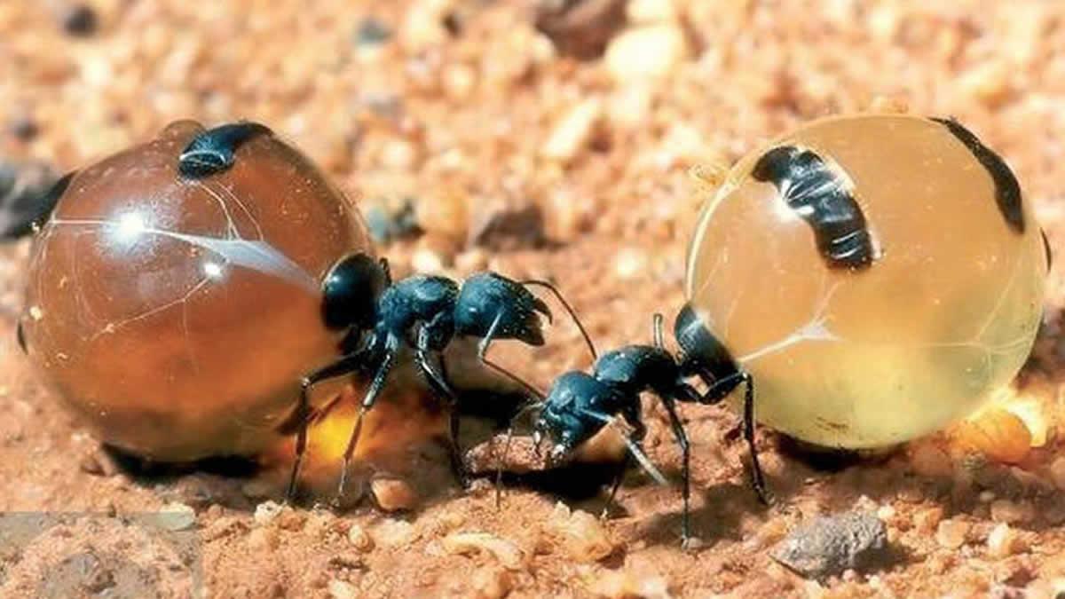 Hormigas-de-miel2