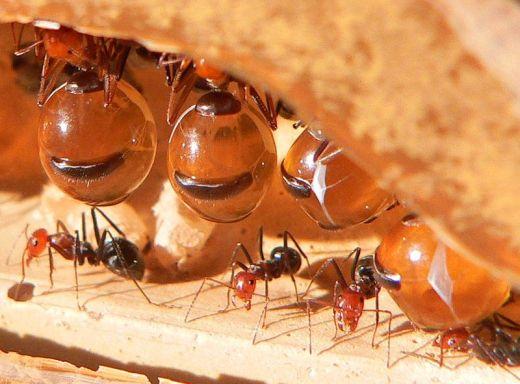 Hormigas-de-miel4