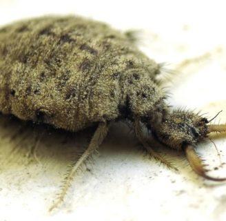 Hormigas león: Todo lo que te interesa saber sobre ellas