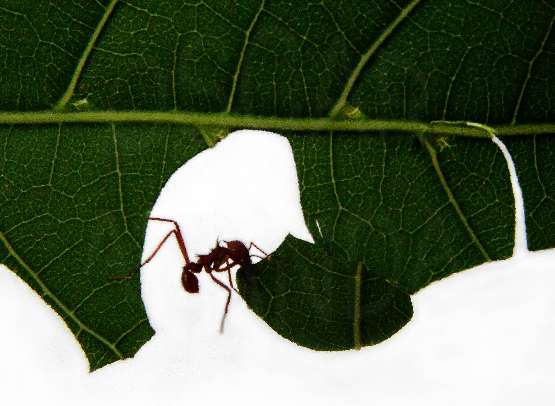 Hormigas-voladoras-u-hormigas-con-alas1